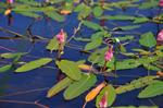 Vesitatar (Persicaria amphibia)